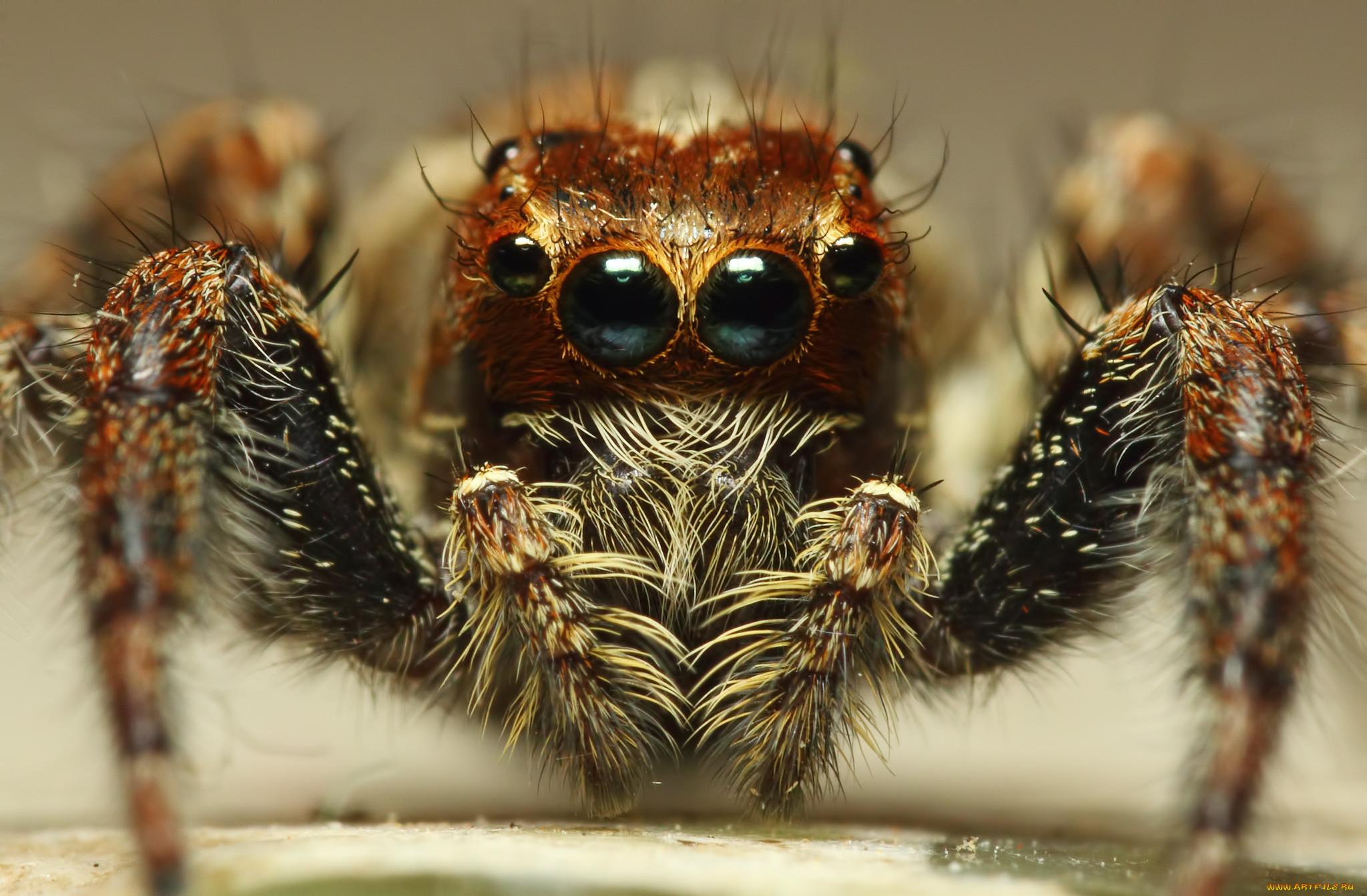 пауки фото глаз